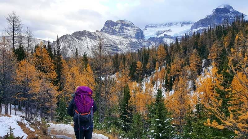Looking at the orange larch trees on the Larch Valley hike in Lake Louise