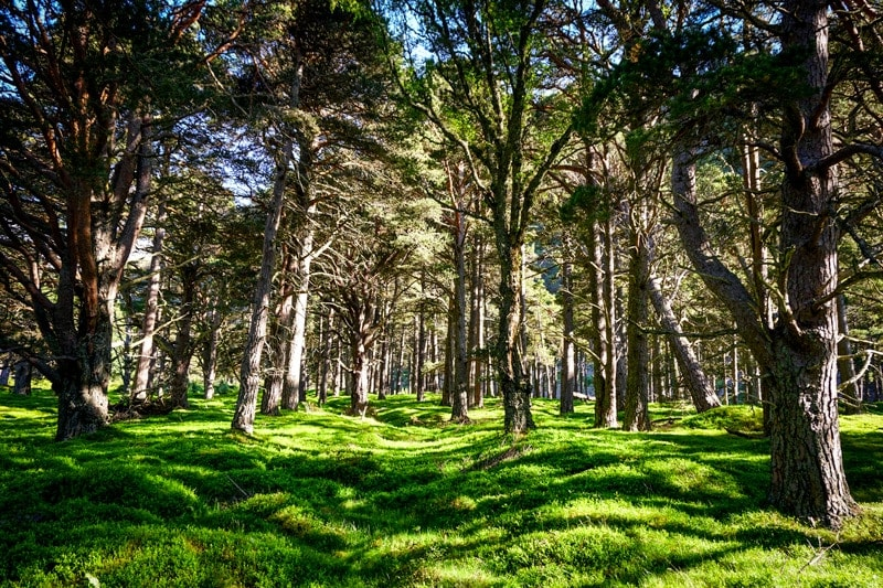 Scots pines trees in Glen Feshie in the Cairngorms National Park in Scotland
