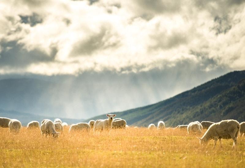 sheep grazing in a paddock in canterbury, new zealand