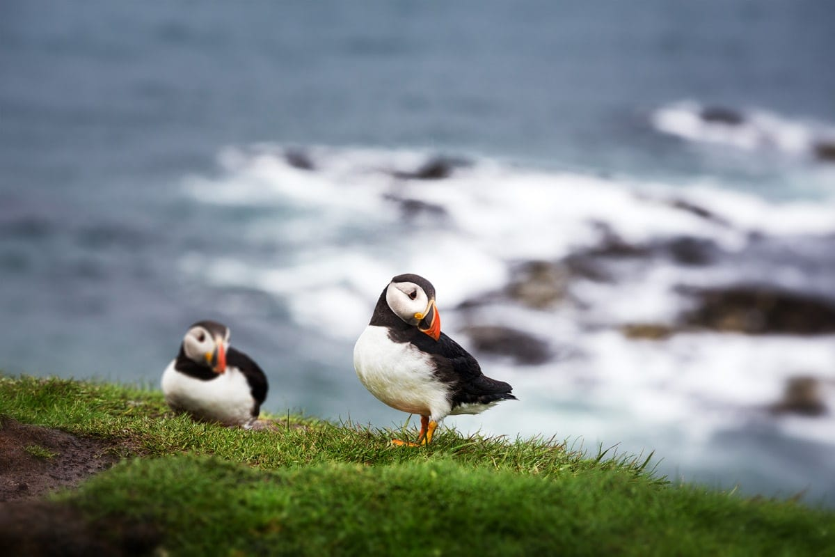 puffins in scotland