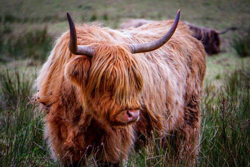 ginger highland cow grazing
