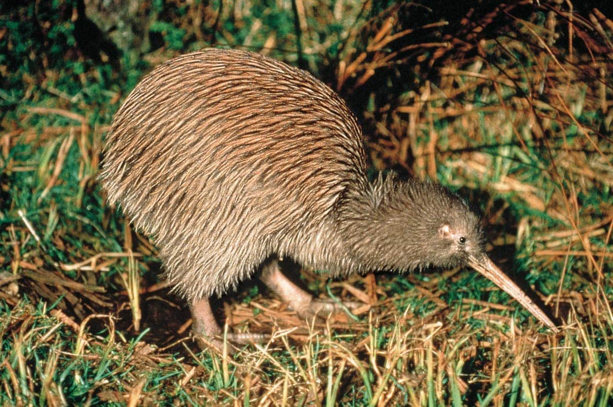 Where to see Kiwis in New Zealand: 20+ Places & Map