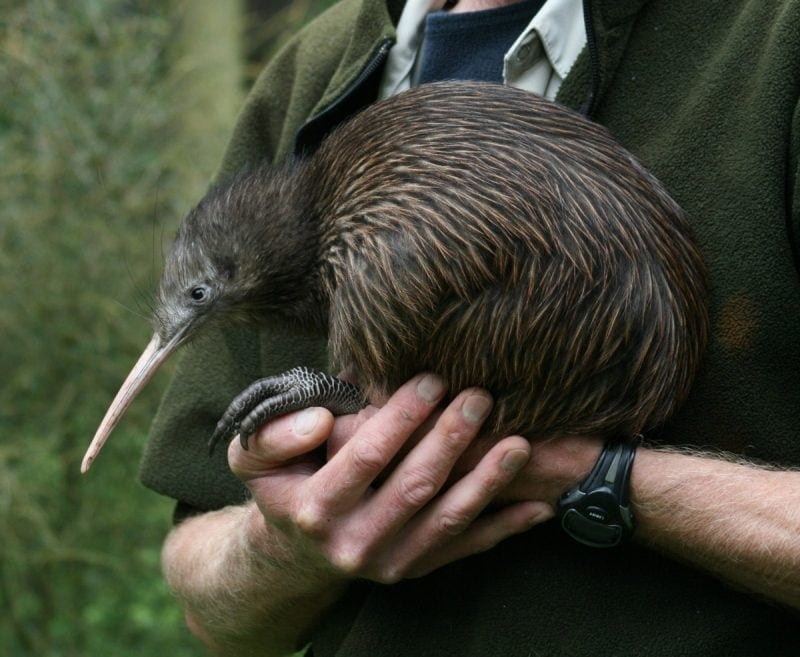 fun and interesting facts about the kiwi bird